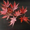 中午下樓吃飯,在拐角的路邊看到有低矮的紅色葉子的植物,落了一地